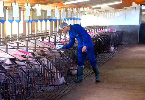 Swine Biosecurity: Needle-free vaccination reduces the risk of disease transmission between animals