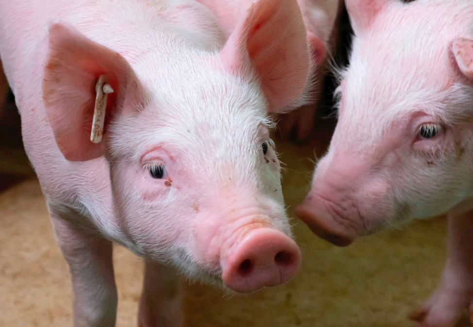 Bienestar animal: la vacunación intradérmica sin aguja es menos invasiva y ofrece un mejor rendimiento productivo.