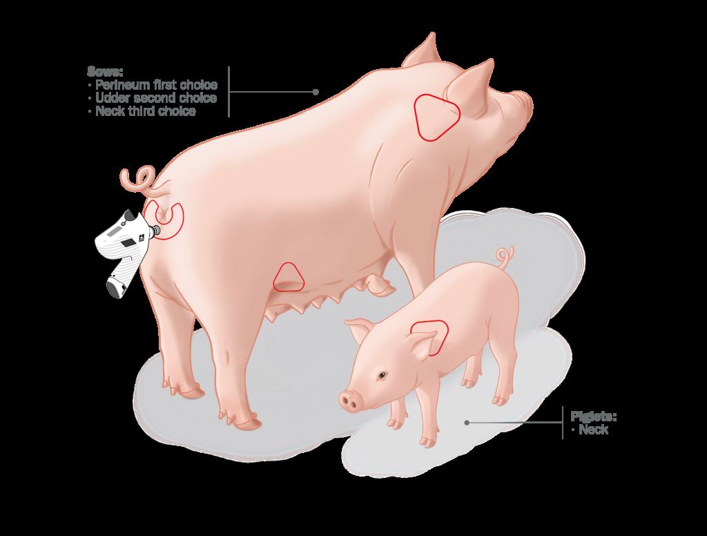 Vacunación intradérmica: Partes de los cerdos recomendadas para la vacunación con Hipradermic®